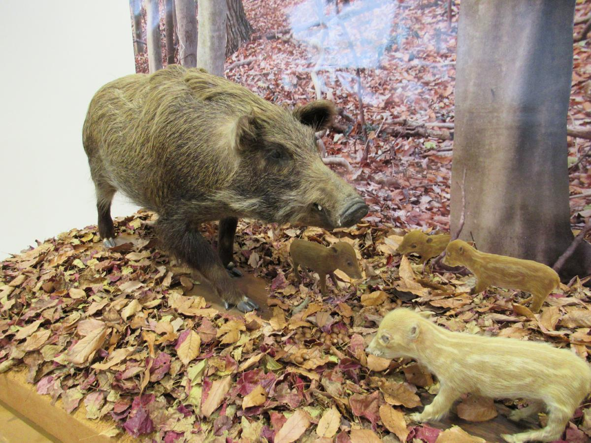 「体験学習館モンスタ」に展示されるイノシシの剥製
