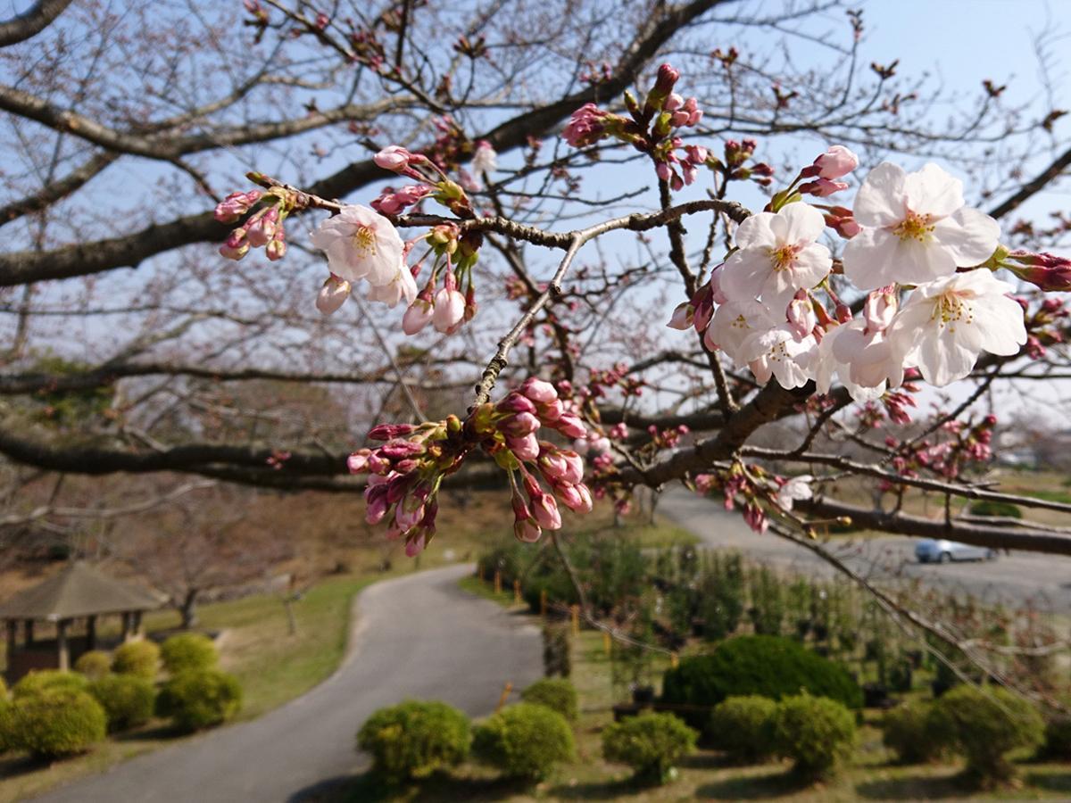 ときわ湖水ホール横で開花した桜