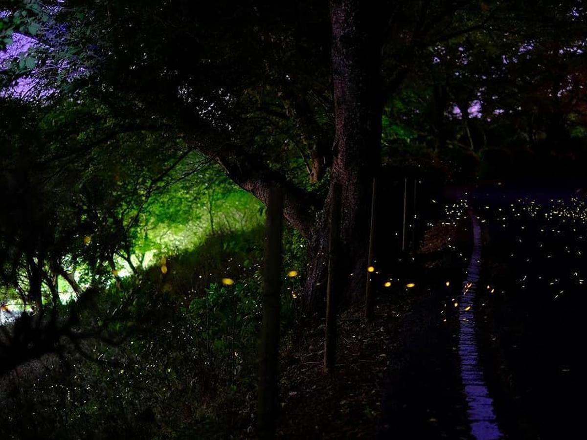 5月22日のヒメボタルの乱舞の様子(写真撮影・提供:山田さん)