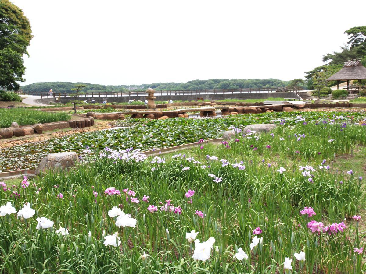 現在1、2分咲きの「しょうぶ苑」の様子(5月29日撮影)