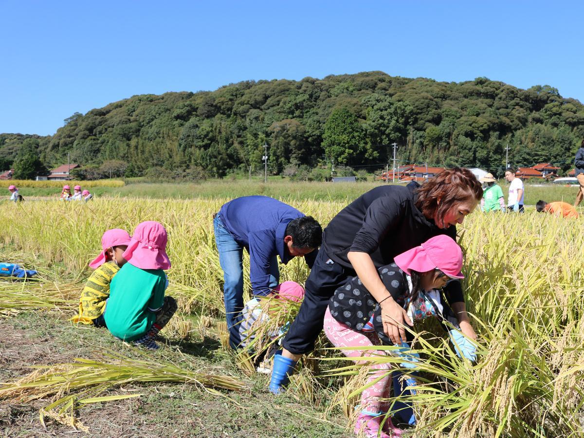 稲刈りを体験する桃山保育園の園児