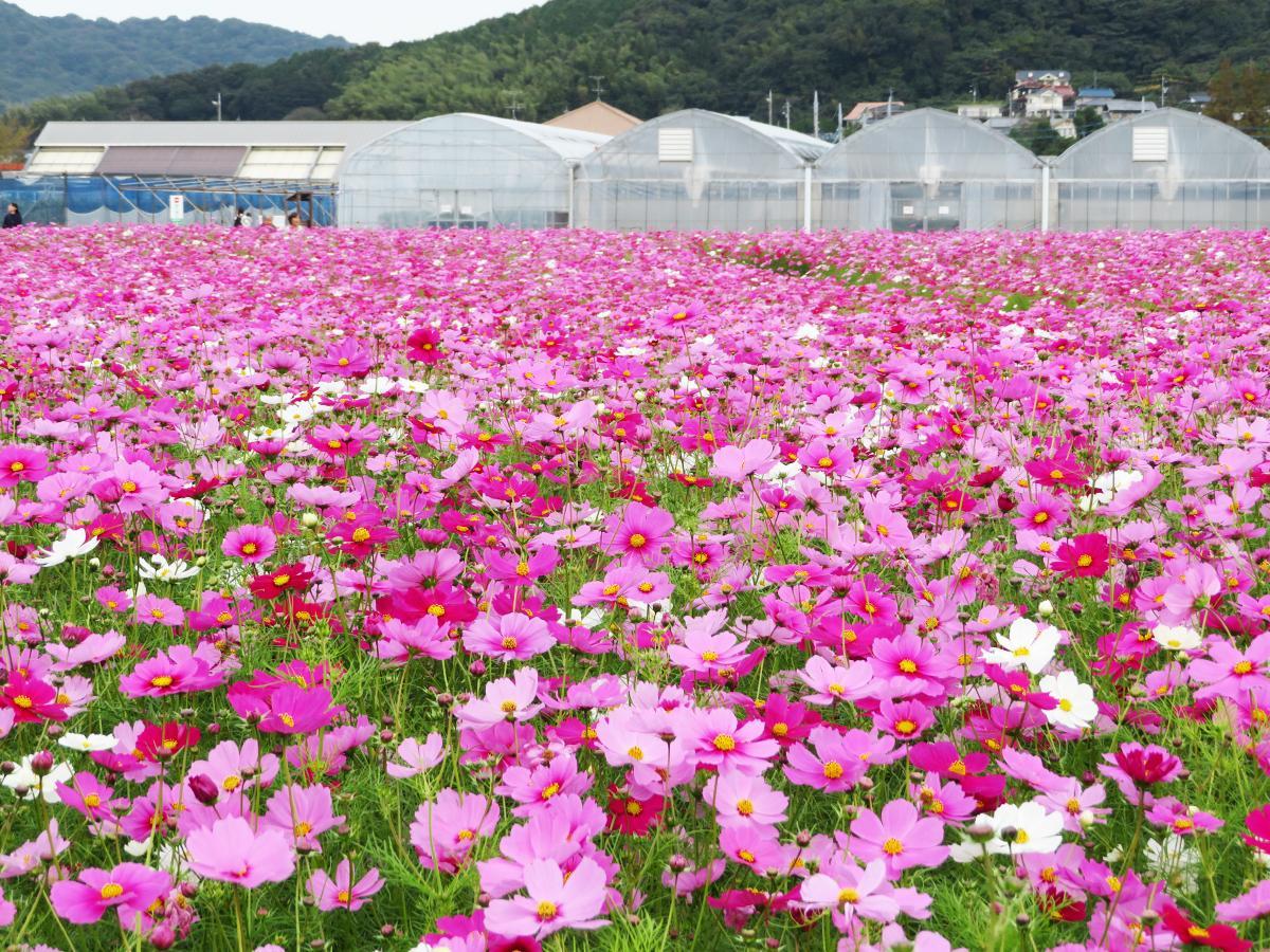 まるで「花の海」のように一面に咲き誇るコスモス畑(10月23日撮影)