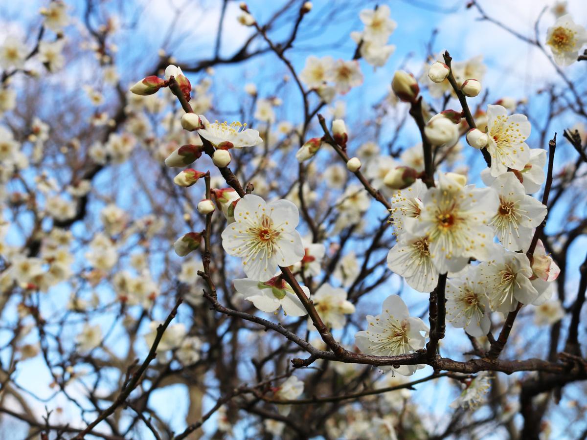 宇部ときわ公園で見頃を迎えている梅の花