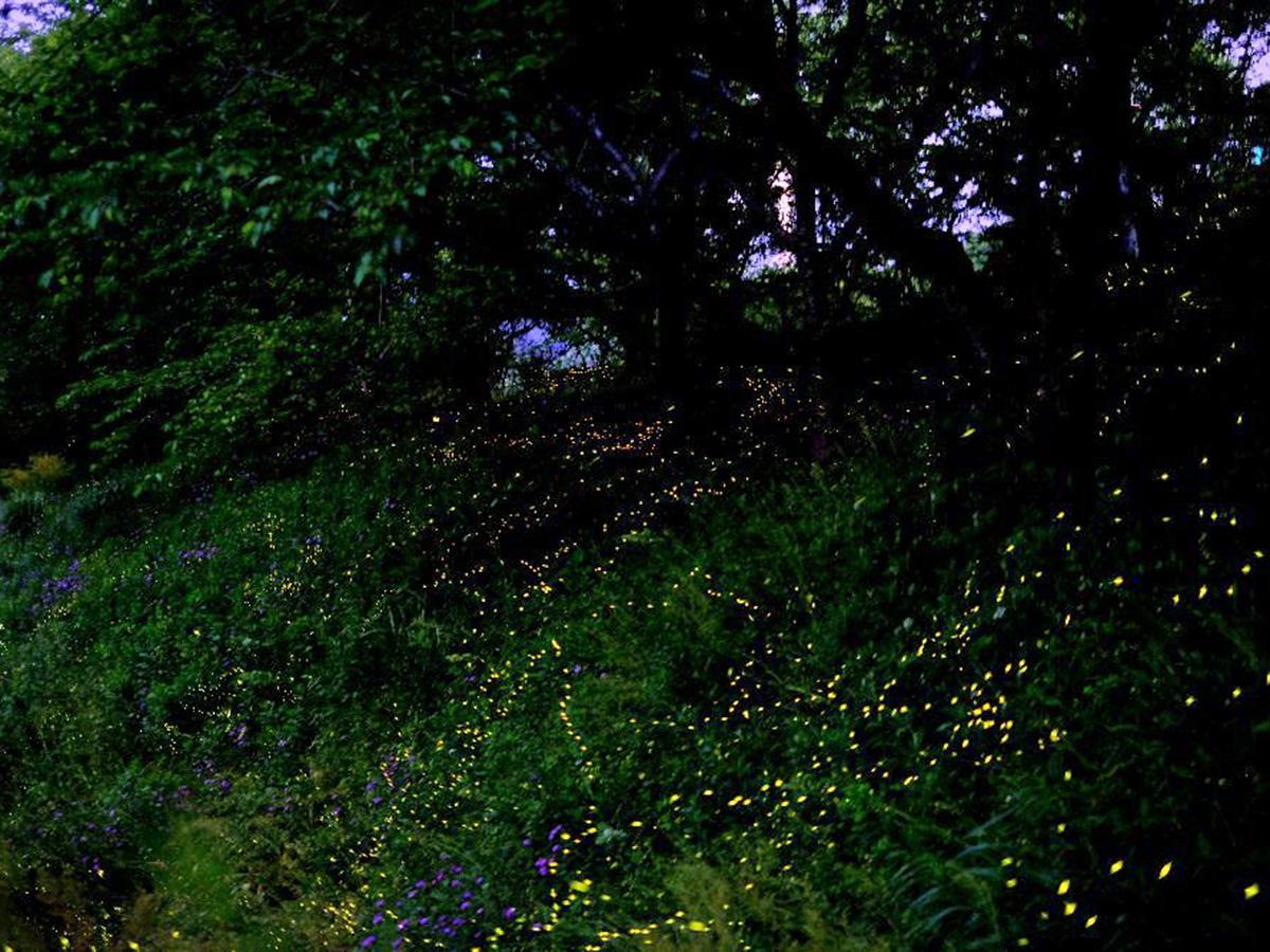 竜王山で5月16日に撮影されたヒメボタル(写真提供=山田伸幸さん)