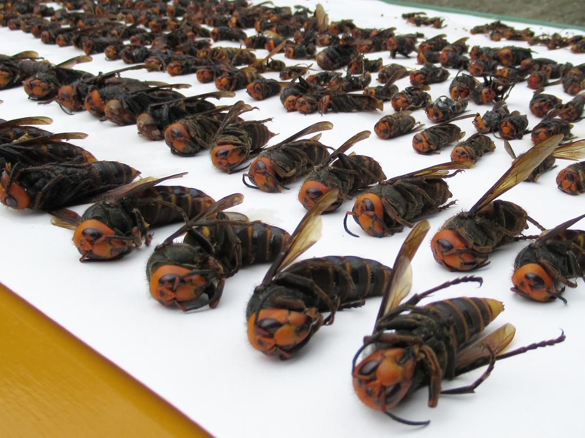 「吉田芋粥会」が今年捕獲したスズメバチ