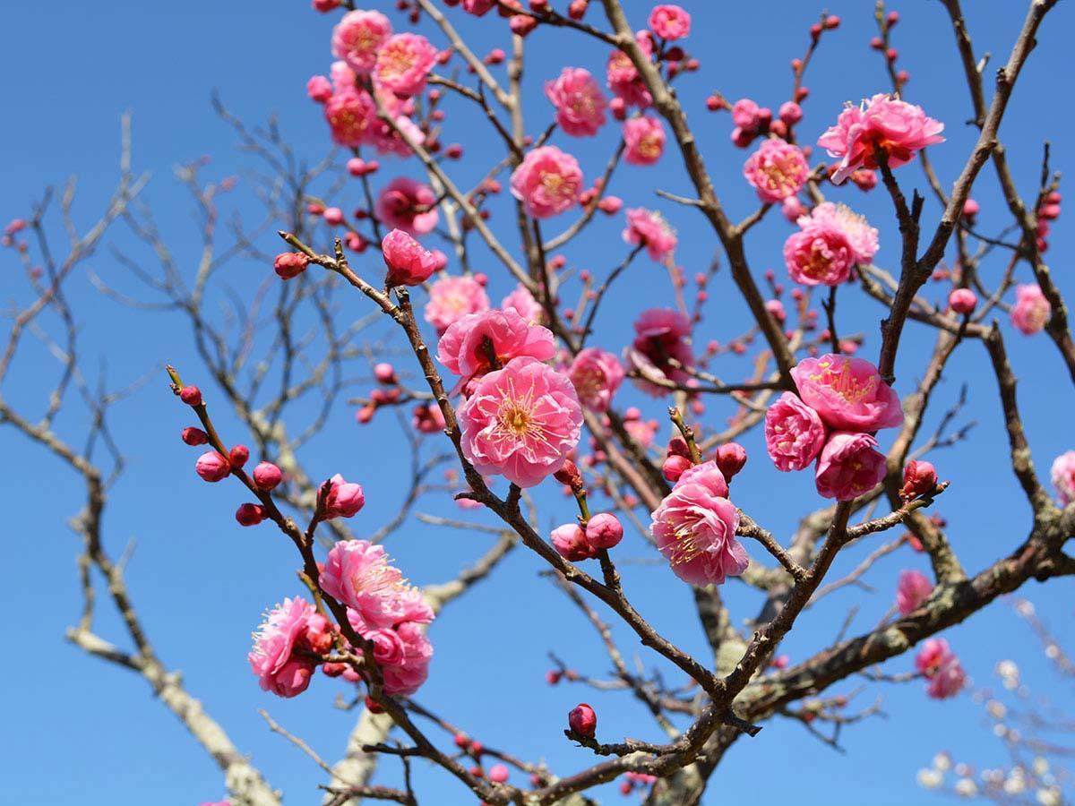 桃色や白色の梅の花が見頃を迎えている宇部ときわ公園
