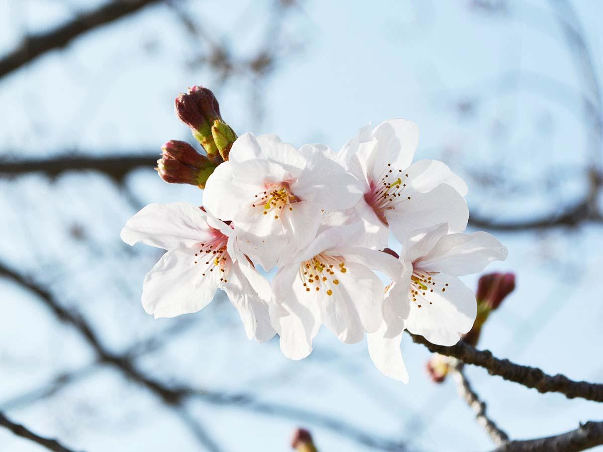 「じゃぶじゃぶ池」周辺で開花した桜