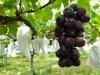山陽小野田の「二井観光ぶどう園」今年も開園 晴天に恵まれ「糖度高い」