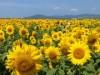 山陽小野田の農場「花の海」でヒマワリ見頃 過去最多70万本を栽培
