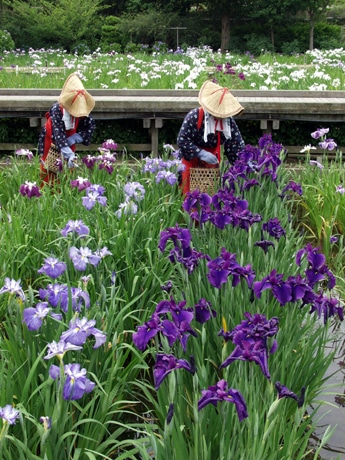 14万本が見ごろを迎えた「横須賀しょうぶ園」では、「花殻摘み」の姿もみられる