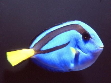日本代表ユニホームと同色で、ブルーが鮮やかなナンヨウハギなどが水槽を遊泳する