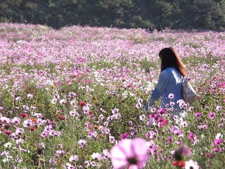 100万本のコスモスが満開となった「くりはま花の国」