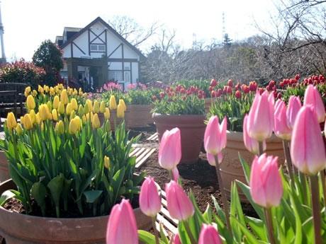 くりはま花の国で、ピンクや黄色いアイスチューリップが見頃に