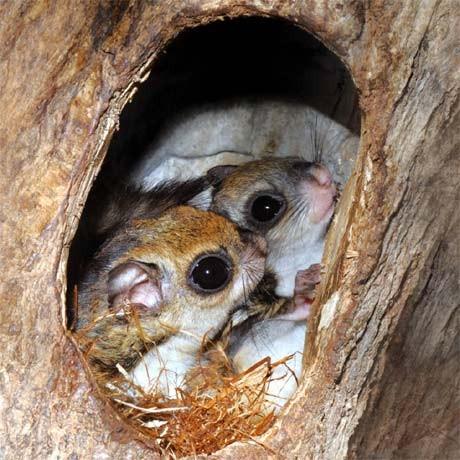 巣の中のモモンガ親子、右が赤ちゃん(写真提供=京急油壺マリンパーク)