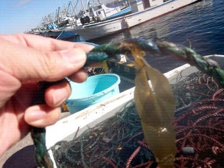 11月下旬、安浦漁港で「猿島わかめ」の種付け作業が行われた