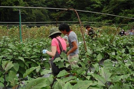 キャベツ収穫、イチゴ狩りなどで交流する「ヨコスカフェ」農業婚活イベント
