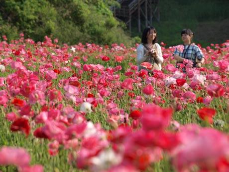 赤やピンクに彩られ、100万本のポピーが満開になった「くりはま花の国」