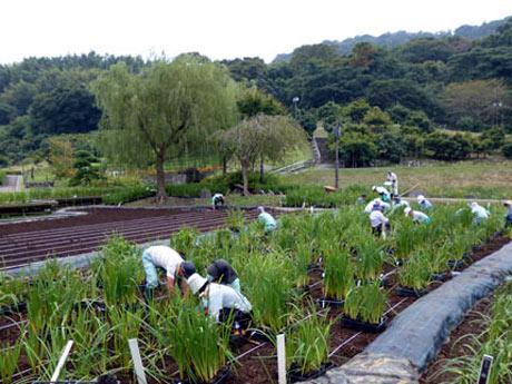 しょうぶの種付けが行われている横須賀しょうぶ園