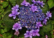観音崎公園、新種のアジサイが見ごろ 花の名前を募集