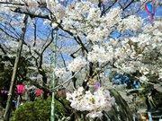 横須賀の桜名所、衣笠山公園の桜が満開 今週末に「さくら祭」も