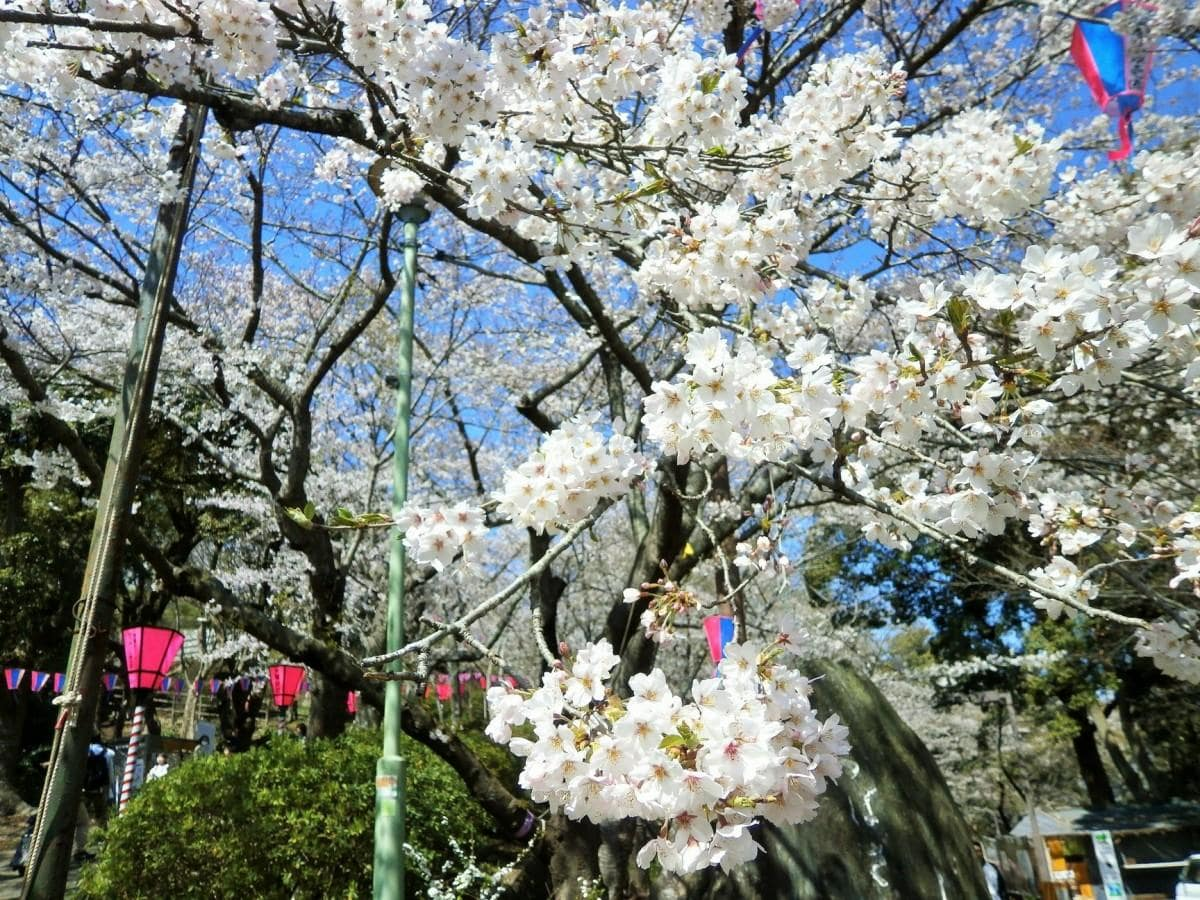 衣笠山公園のソメイヨシノが満開に(写真提供=中澤利晃 25日撮影)