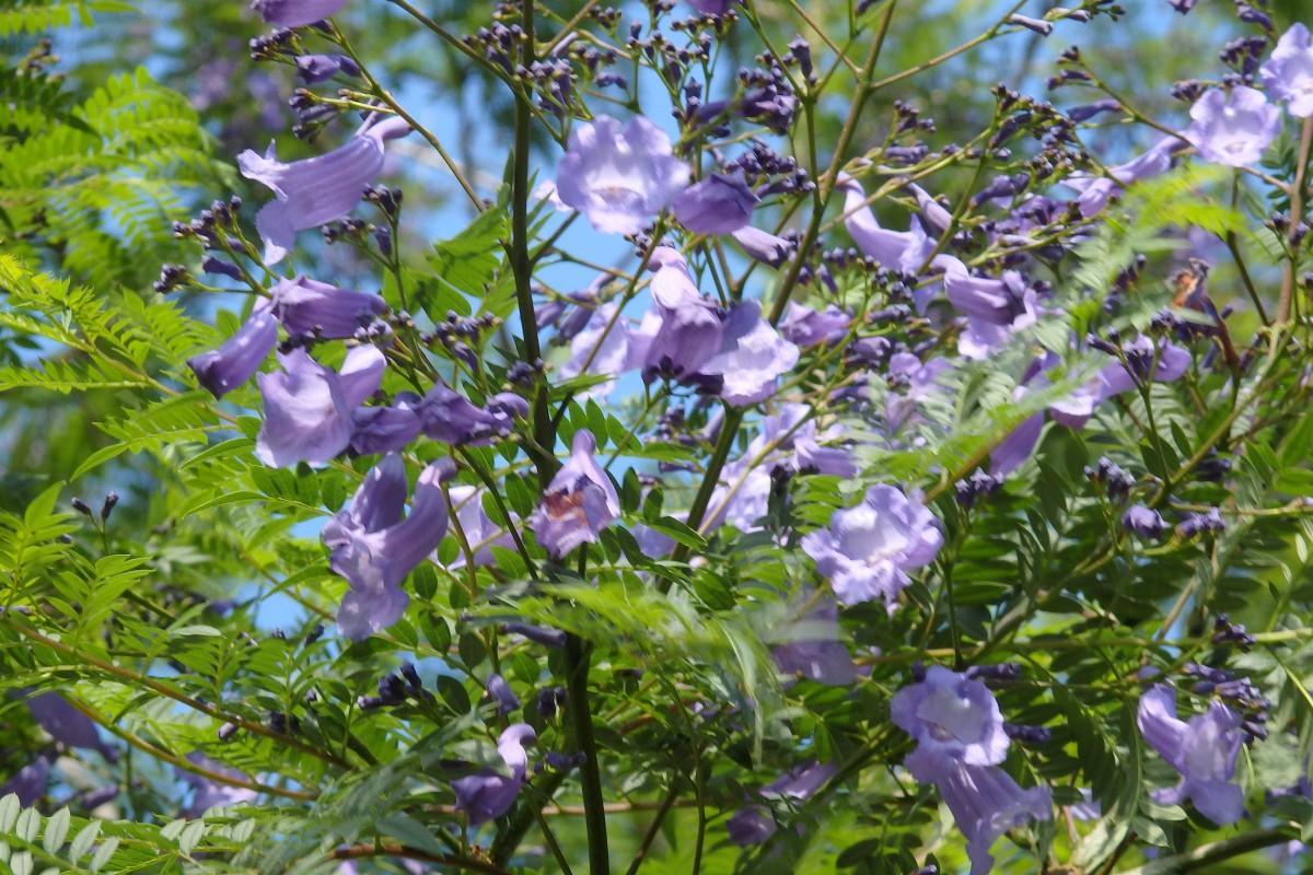 南米原産で紫色の花が咲くジャガランダ(神奈川歯科大)