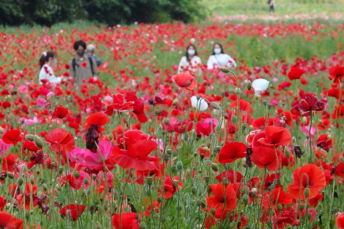 赤いシャレ―ポピーが見頃になった「くりはま花の国」