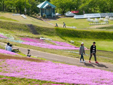 大森リゾート村で開催中の「芝桜フェスタ」会場の様子