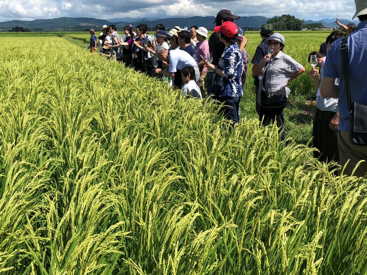 横手市平鹿町で酒米の稲を見学する参加者