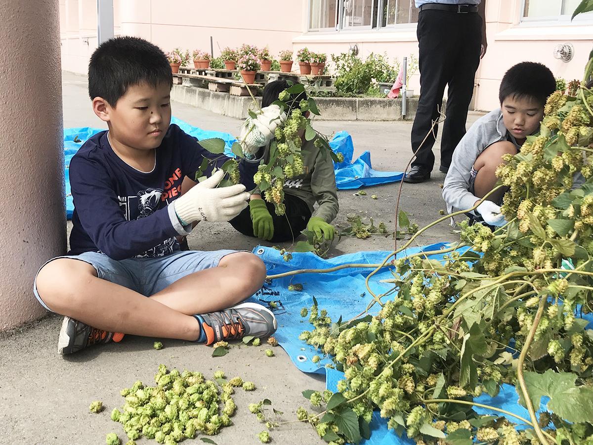 手積みでホップを収穫する児童