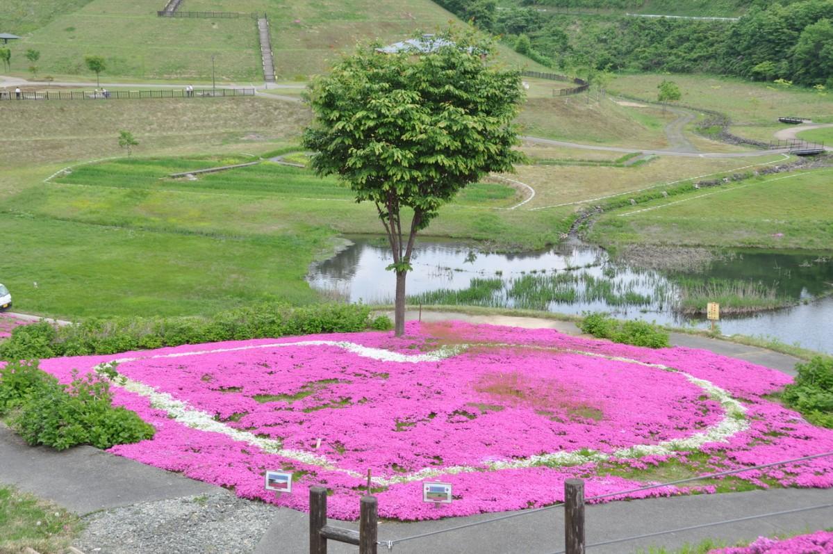 横手市山内で開かれる「さんない芝桜まつり」の様子(写真は2017年)