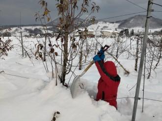 横手の果樹農家で地元若者らが除雪ボランティア