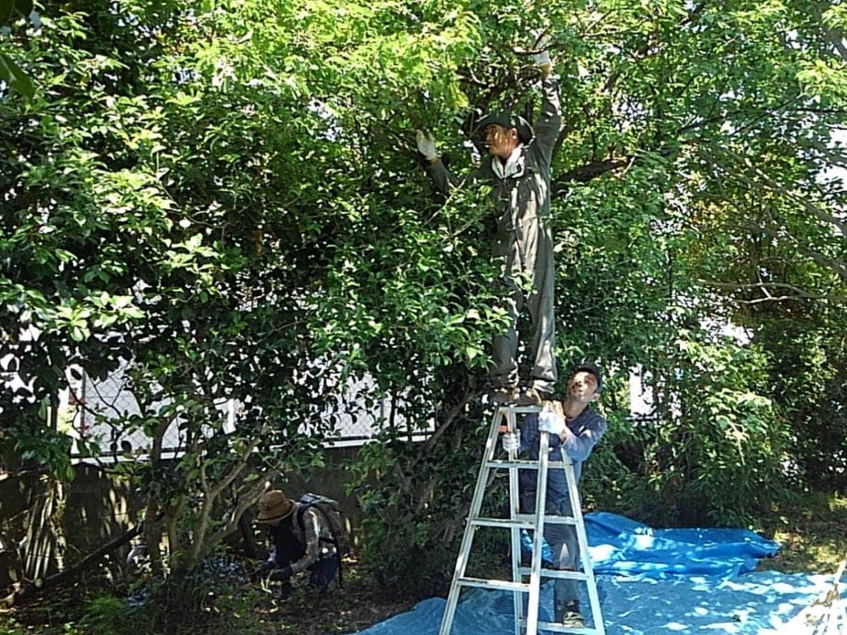 実を落とすために、梅の木を揺らす渡辺さん