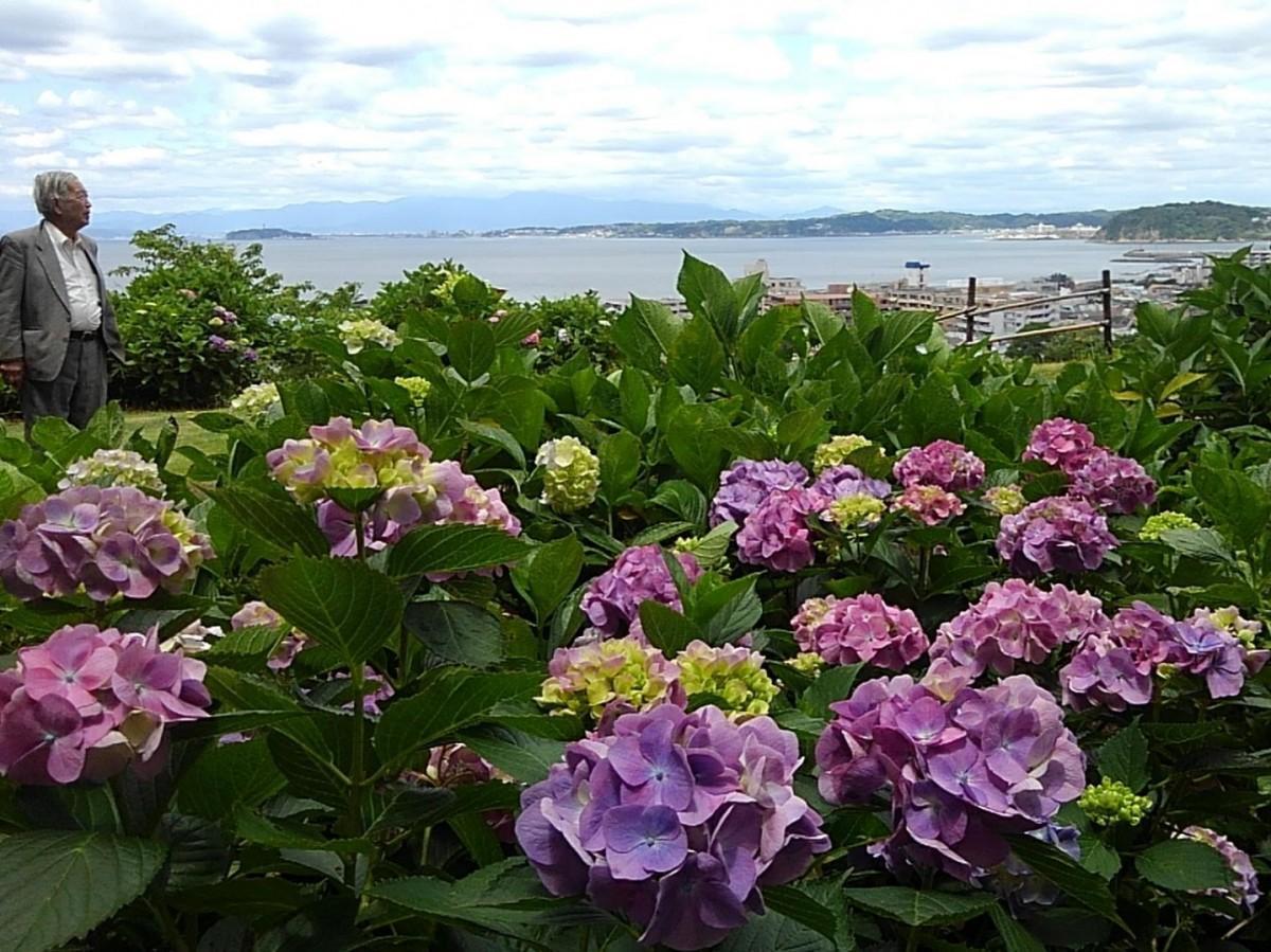 好天時にはアジサイの向こうに、富士山、江の島、裕次郎灯台も