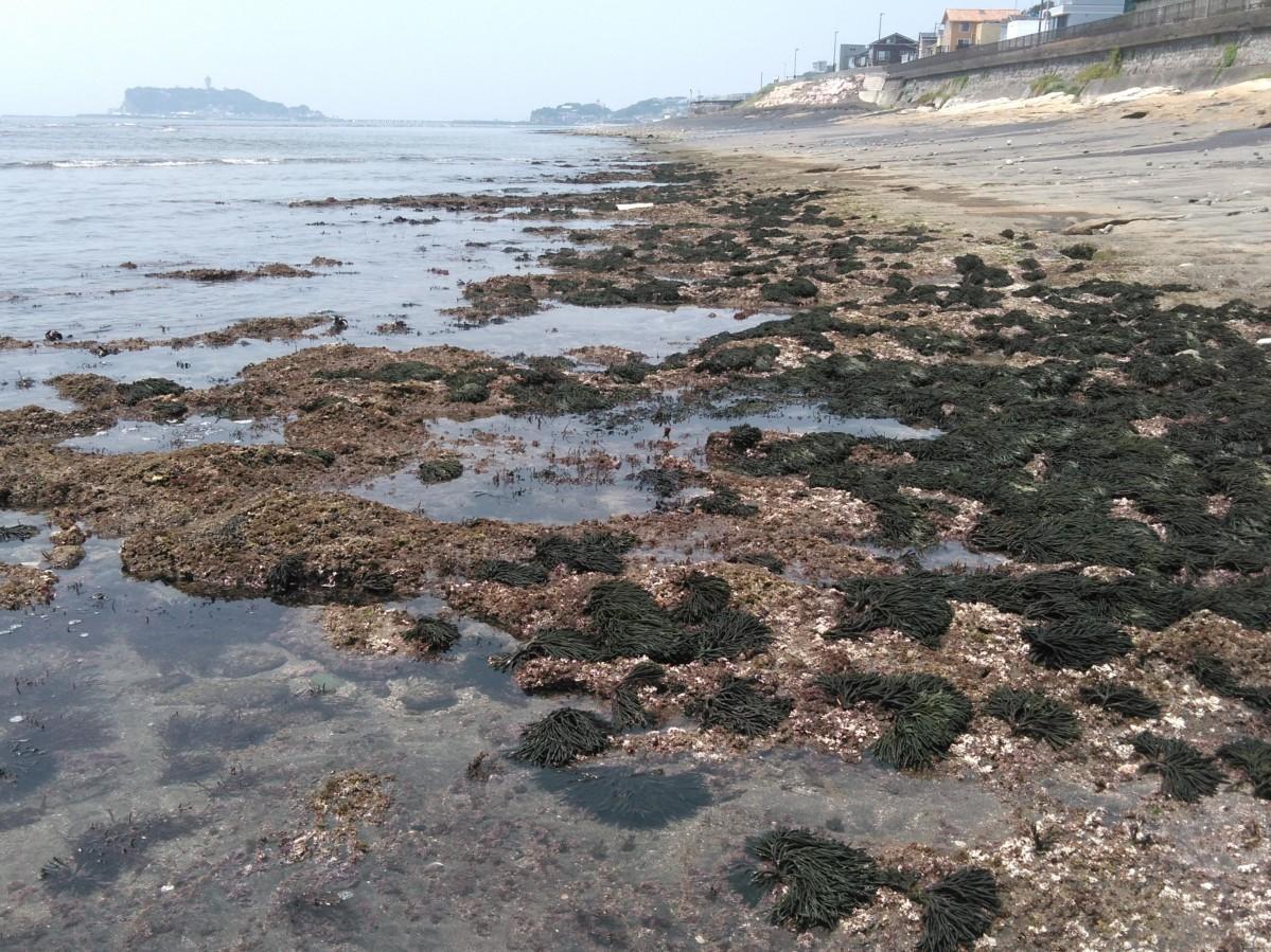 今年8月2日には相模湾海藻調査会のメンバーが鎌倉市七里ガ浜で大量発生したミルを確認(提供=高橋昭善さん)