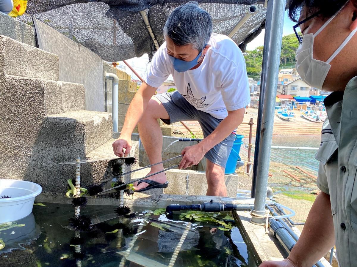 逗子市内の居酒屋「つく志」の店長・藤枝浩司さんが水槽からキャベツウニを選ぶ