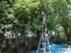 逗子の蘆花記念公園で梅の実収穫 アダプトプログラムの一環で